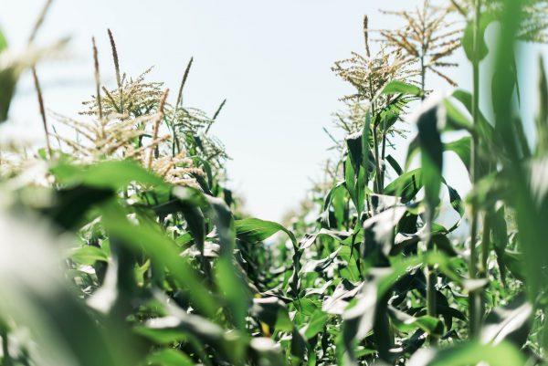 Sparkes Corn field